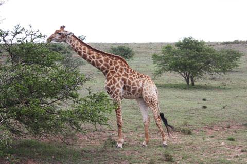 djur-giraff