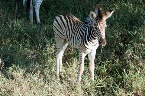 safari-zebraunge