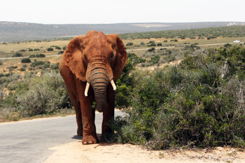 addo-brun-elefant
