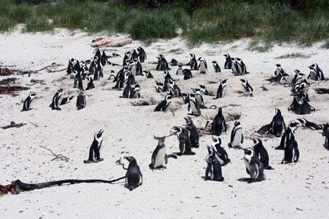 boulder-pingvinkoloni