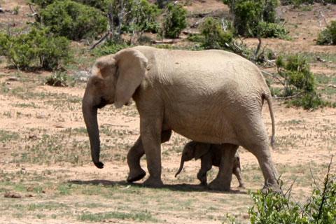 djur-elefan