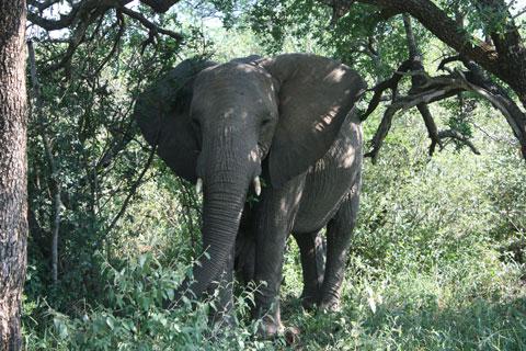 djur-elefant-skog