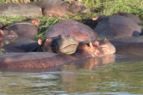 djur-flodhast-mun