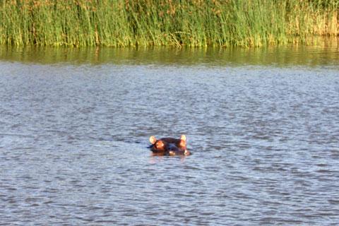 djur-flodhast