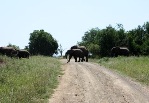 elefanter-pa-vagen-hluhluwe