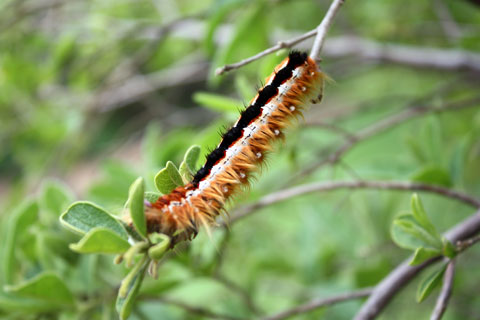 kirstenbosch-larv